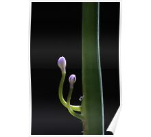 Purple Agapanthus buds 6724 Poster