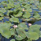 lotus pond by moyo