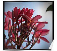 Red Frangipani Bloom Poster