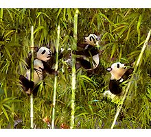 Panda Cubs Photographic Print