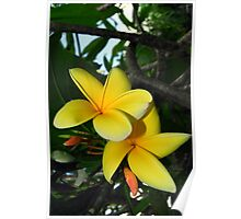 Yellow Plumeria Flower Poster