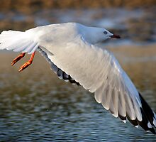 Silver Gull wings at full stretch by KarenEaton