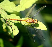 Yellow Dragonfly by Jcook
