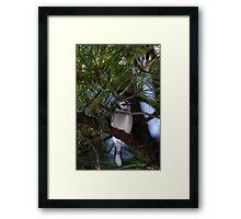 Blue Jay in Pine Framed Print