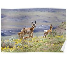 Pronghorn Family Poster