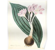 Floral illustrations of the seasons Margarate Lace Roscoe 1829 0308 Colchicum Byrantinum Poster