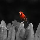 Male Cardinal by RockyWalley