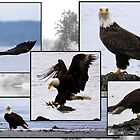 Bald Eagles of Alki Beach by Micci Shannon