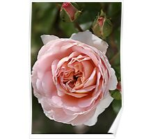 flower-pink-rose-bloom Poster