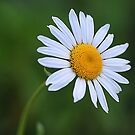 Daisy, daisy by Kelly Cavanaugh