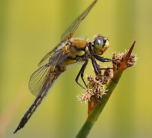 Dragonfly on Cattail by DianaB