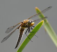 Resting Dragonfly by DianaB