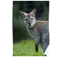 Bennetts Red-necked Wallaby (Macropus rufogriseus) Poster