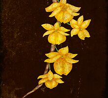 Botanica - Dendrobium Dixanthum Orchid by Sybille Sterk