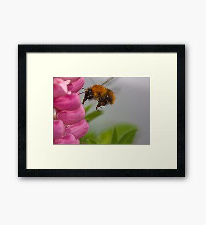 Lupin landing Framed Print