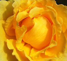 Vibrant Yellow Rose by Joy Watson