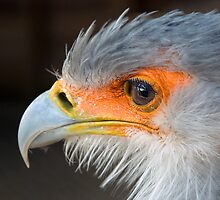 Secretary Bird  - (Sagittarius serpentarius) by Robert Taylor