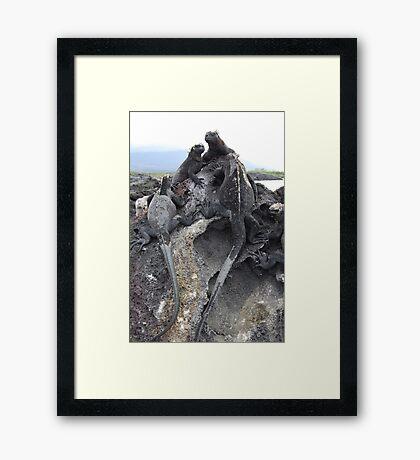Galapagos iguanas Framed Print