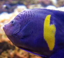 Purple yellowbar angelfish - Pomacanthus maculosus  Sticker