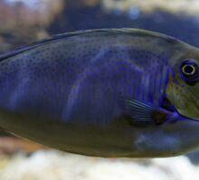 Naso vlamingii fish Sticker