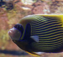 The emperor angelfish - Pomacanthus imperator Sticker