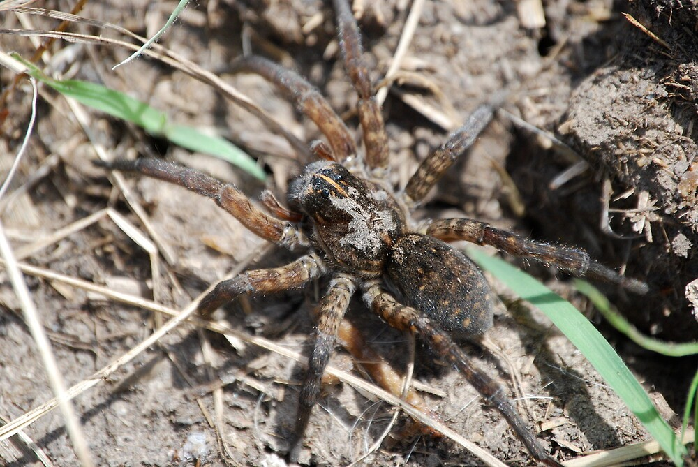 Wolf Spider in Kansas by Suz Garten