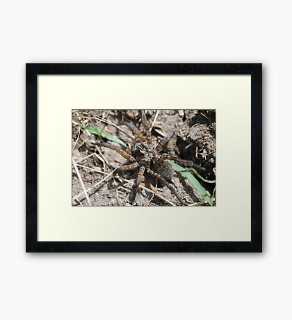 Wolf Spider in Kansas Framed Print