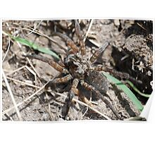 Wolf Spider in Kansas Poster