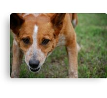 Focused Cattle Dog Mix Canvas Print