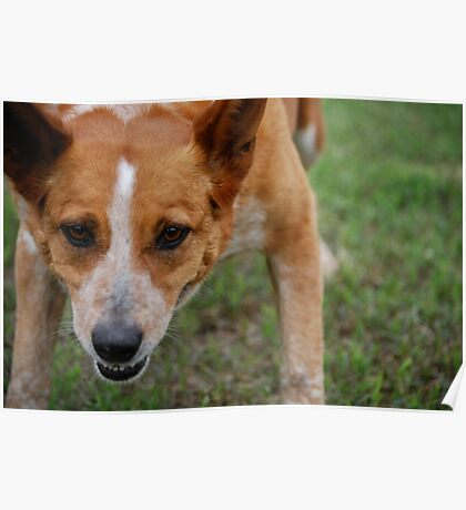 Focused Cattle Dog Mix Poster