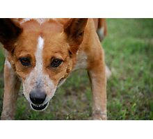 Focused Cattle Dog Mix Photographic Print