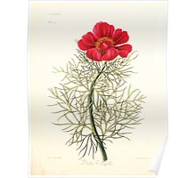 Floral illustrations of the seasons Margarate Lace Roscoe 1829 0068 Paonia Tenuifolia Poster
