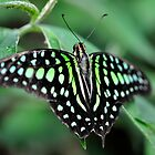 Butterfly Gems - Green Jay by Darren Bailey LRPS