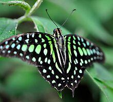 Butterfly Gems - Green Jay by Darren Bailey LRPS