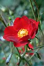 red rose by LisaBeth