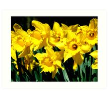 Dancing Daffodils Art Print