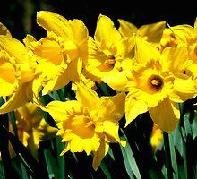 Dancing Daffodils by Spiritmaiden