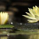 Water Lily by Alina Kurbiel