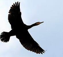 Flight Of The Cormorant by snapdecisions