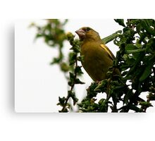 The Greenfinch Canvas Print