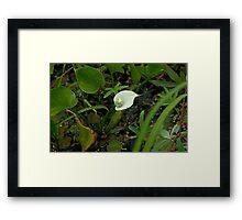 Wild Calla Lily (Calla palustris) Framed Print