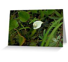Wild Calla Lily (Calla palustris) Greeting Card