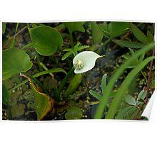 Wild Calla Lily (Calla palustris) Poster