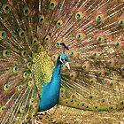 Male Peacock by Franco De Luca Calce