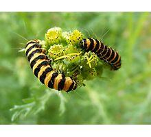 Cinnabar caterpillar Photographic Print