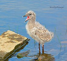Chick Looking for Mum (Baby Seagull) by Yannik Hay