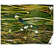 damselfly on river plants Poster