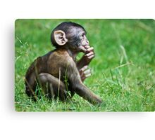 Eight Week Old Barbary macaques Canvas Print