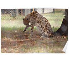 Cheetah-Acinonyx jubatus Poster
