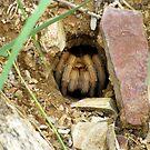 Arizona/Mexican Blonde Tarantula ~ Nesting by Kimberly Chadwick